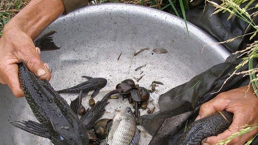 Lão nông miền Tây 'hiến kế' để vừa có tiền lại trị được vấn nạn cá lau kiếng