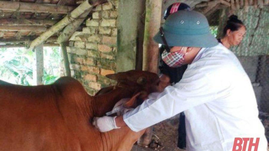 Huyện Triệu Sơn có 5 xã công bố hết dịch Viêm da nổi cục trên trâu, bò