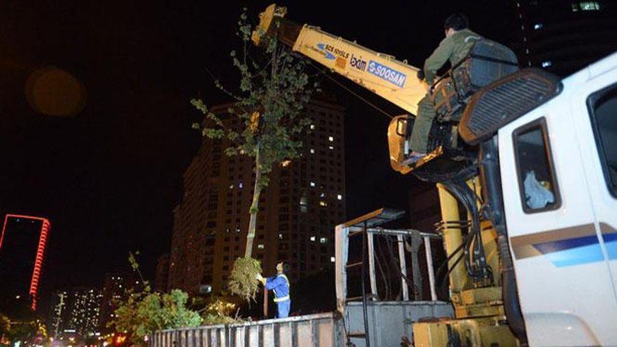 Chuyển cây phong trên dải phân cách đường Nguyễn Chí Thanh về vườn ươm Yên Sở
