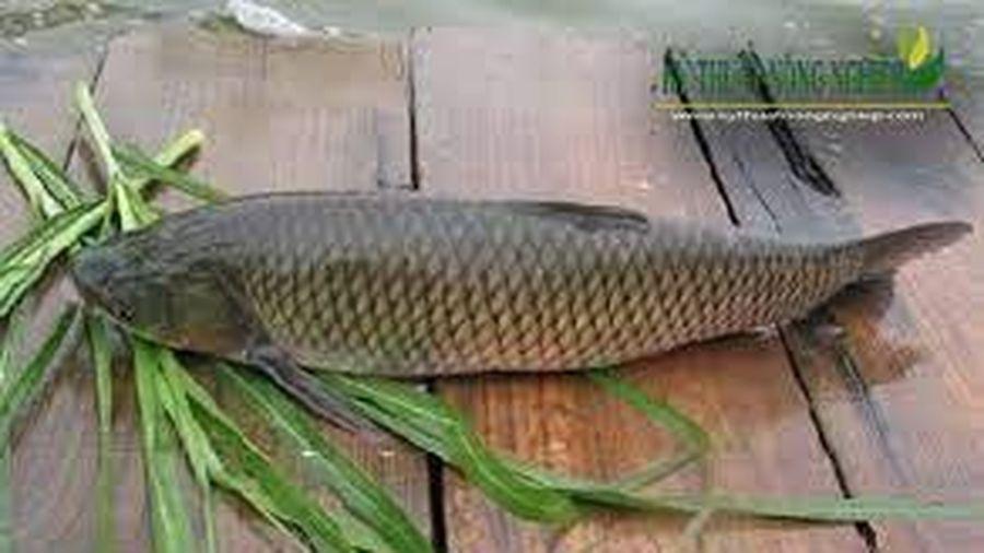 Kỹ thuật nuôi cá trắm cỏ