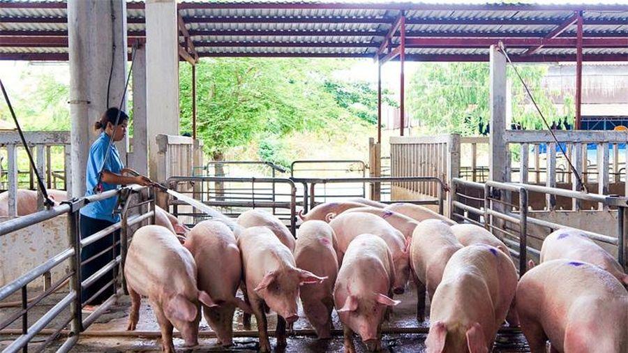 Giá lợn hơi hôm nay 21/6/2021: Bất ngờ tăng 1.000 đồng/kg