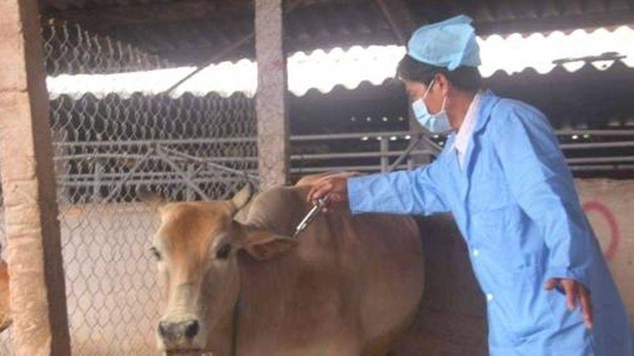 Mượn trước 50.000 liều vacxin viêm da nổi cục tiêm phòng cho bò