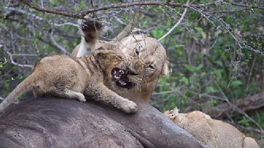 Sư tử mẹ nổi đóa đánh con nhỏ vì bị giành ăn