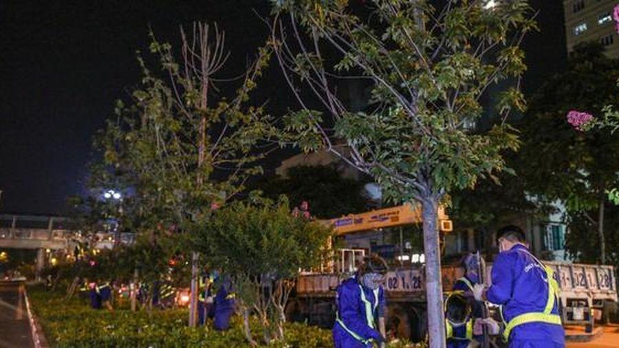 Sau phong lá đỏ, Hà Nội sẽ rà soát thay thế loạt cây trong phố