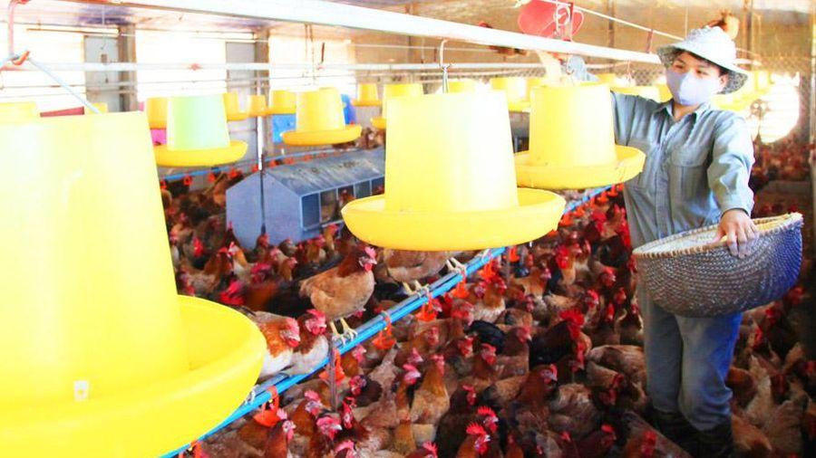 Chăn nuôi theo hình thức nông hộ: Vẫn cần nhiều giải pháp hỗ trợ
