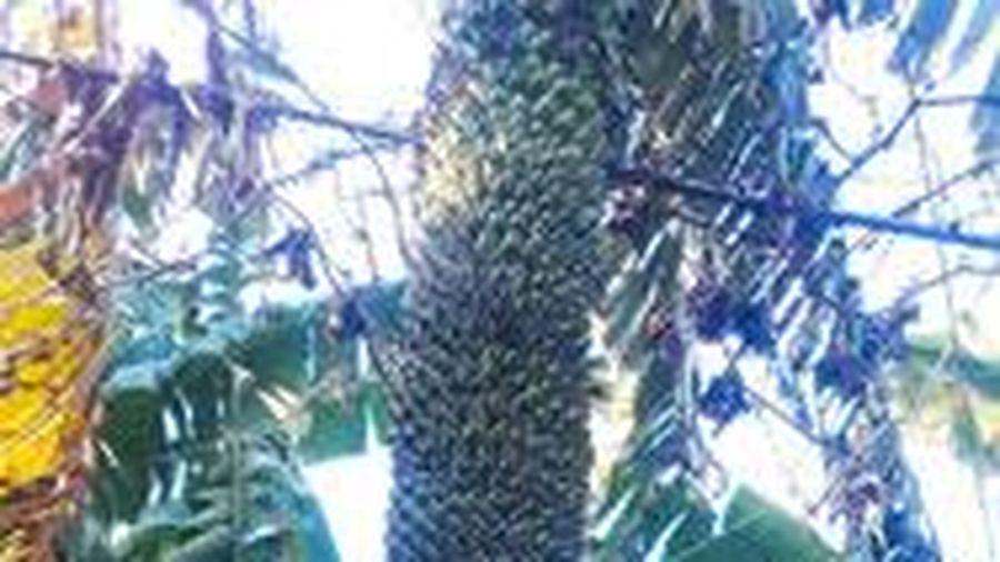 Choáng váng buồng chuối 'khủng' hơn 120 nải, 2,5 m ở Quảng Ngãi