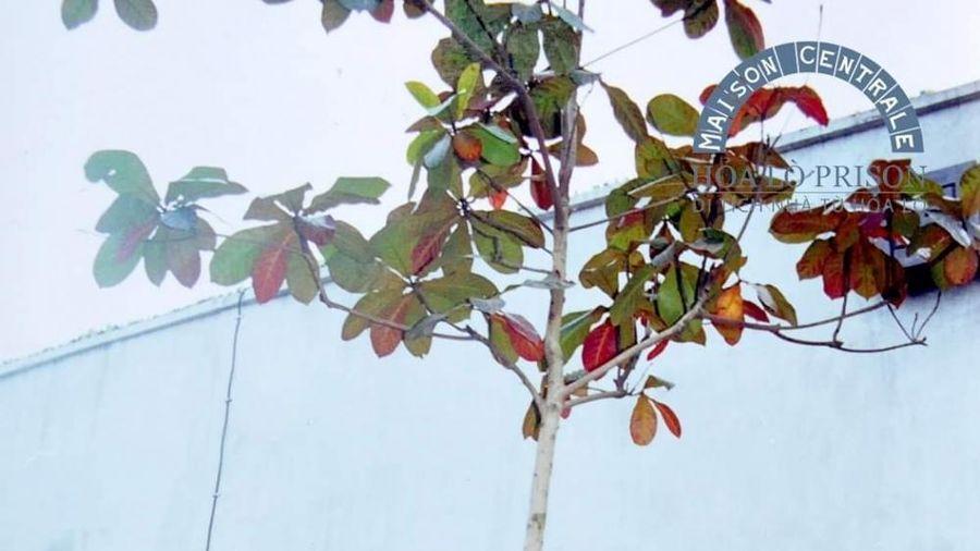 Chuyện về cây bàng nghĩa tình do nguyên Tổng Bí thư Lê Khả Phiêu trồng tại Di tích Nhà tù Hỏa Lò